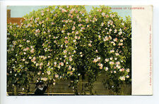 Two Pioneers of California, CA, giant rose bushes, man with beard, early