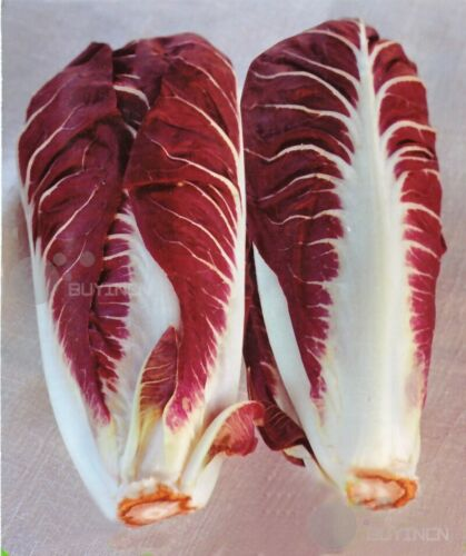 Vegetable seed Chicory 30seeds witloof endive chiccory succorypatio garden