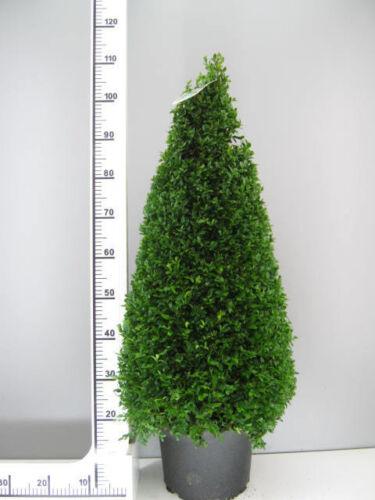 Höhe: 110-120 cm 2 Buchsbaum-Kegel // Pyramide Dünger ! Buxus sempervirens