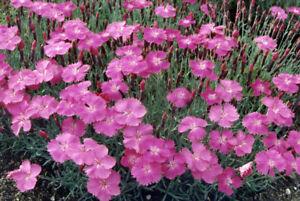 Cheddar Pink BOGO 50/% off SALE Dianthus 50  Seeds