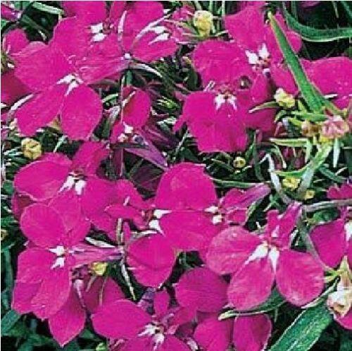 1000 graines Fleur-Lobélie rampante-Regatta Rose