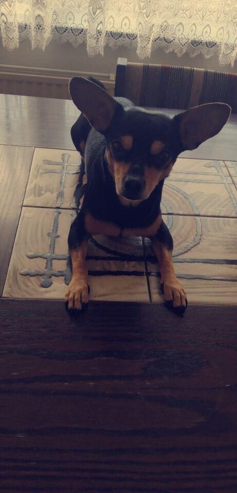 Pincher, hund, 3 år