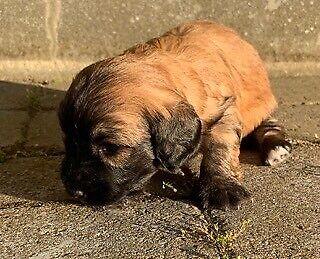Langhåret dværg gravhund og Coton De Tulear, hvalpe, 8 uger