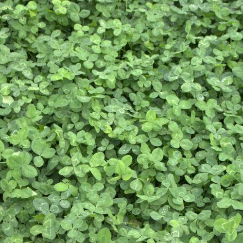 invierno duro Trébol 1 kg de semillas al por menor verde país perseverancia gen Trifolium repens