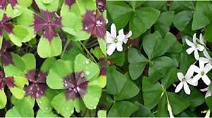 20 x Mixed Oxalis bulbs 10 x /'Iron Cross/' /& 10 x papilionacea green oxalis.
