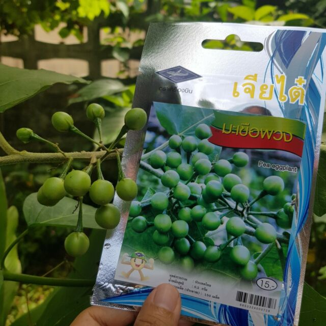 Thai Makheua Puang Pea Plate Brush Eggplant vegetable 20 seed