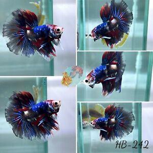(HB-242) Black Koi Galaxy Halfmoon - Live Halfmoon Betta Fish High Quality