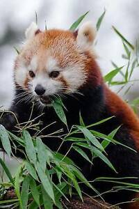 Mind-Blowing-Cute-Little-Red-Panda-Eating-Bamboo-150-Page-Lined-J-by-Journals-Mi
