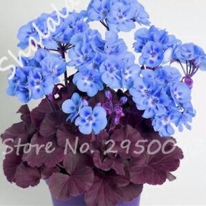 100-pces-Bleu-Geranium-semences-Pelargonium-semences-Chambre-Fleurs-House-plants-Bonsai-S