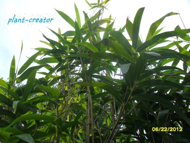 "Japonica Japanese Arrow Bamboo Plant  LIVE RHIZOME 12/"" long"