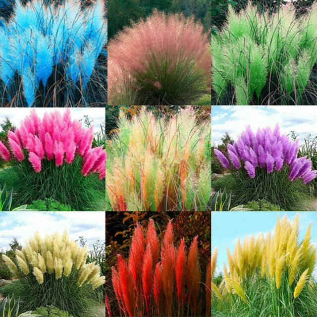 AB/_ 1000× Pampas Grass Cortaderia Selloana Flower Rare Reed Seeds Garden Plant