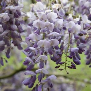 5 Purple Black Dragon Chinese Wisteria Seeds Vine Climbing Flower