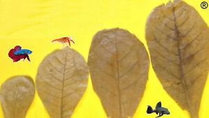 Seemandelbaumblaetter-25-50-100St-10-20cm-Catappa-Leaves-Blitz-Versand-kostenlos