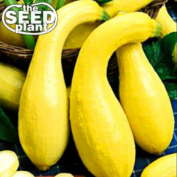 Crookneck Yellow Squash Seeds 25 Non Gmo Seeds For Sale