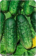 "Cucumber seeds ""salt-coating"" (10 seeds) Lot of 1 pcs"