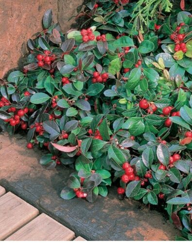 Edible Wintergreen Teaberry Plants Gaultheria procumbens for Garden 6 Plants