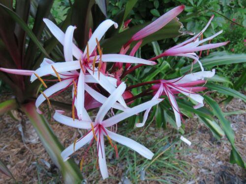 jumbo-size NEW procerum purple leaf Crinum Lily