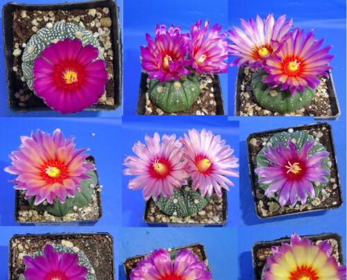 Astrophytum asterias /'AKABANA/' 2020 seeds