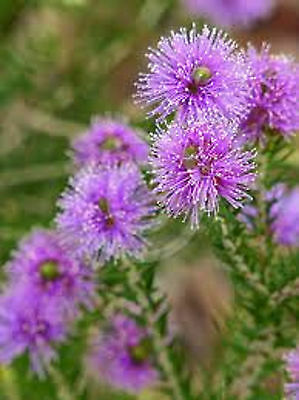 HONEY MYRTLE SEEDS NATIVE FLOWERING SHRUB MELALEUCA THYMIFOLIA 250 SEED PACK
