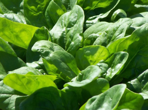 Spinach-Riese-Von-Winter-1-100-Saatgut-Seeds-Spinat-Spinach-Seeds