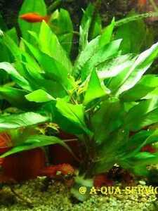 1-Bund-Riesenwasserfreund-Hygrophila-corymbosa-f-Aquarium