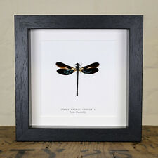 Male Damselfly in Box Frame (Odonata Euphaea Variegata)