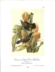 Common-or-Purple-Crow-Blackbird-Vintage-Bird-Print-John-James-Audubon-ABONA229