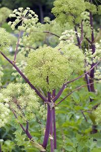 exotische-Blueten-Raritaet-Saatgut-seltene-Garten-Balkon-Pflanze-ANGELIKAWURZEL