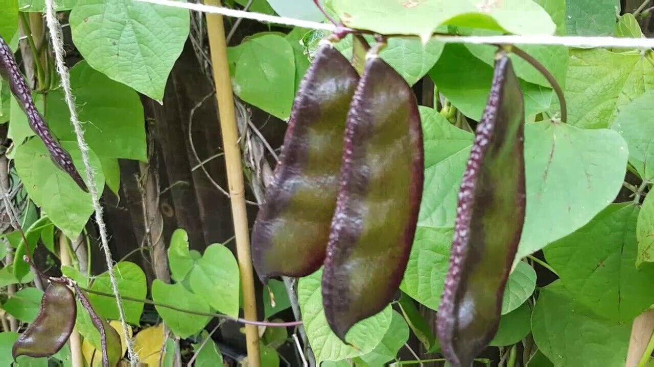 Hybrid Bangladeshi Vegetable Hyacinth Bean Seeds, Sheem Beej, Aina Uri, shim শীম