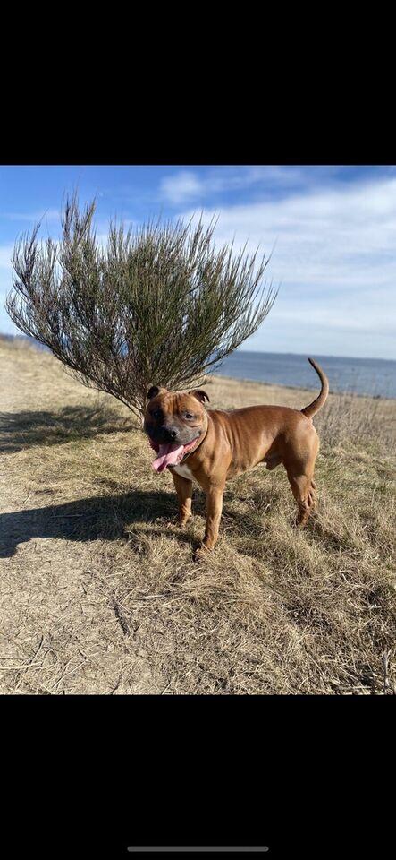 Staffordshire Bull terrier, hund, 2 år