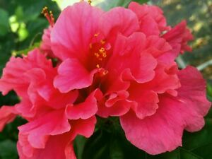 Pride Of Hankins Tropical Hibiscus Bush Plant Triple Fuchsia Salmon
