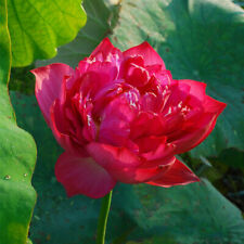 Pink Sacred Lotus Nelumbo Nucifera 5 seeds Not water lily  CombSH