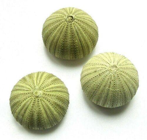 * Test d/' Oursin Vert Tendre de 4cm à 5cm. Lot de 3