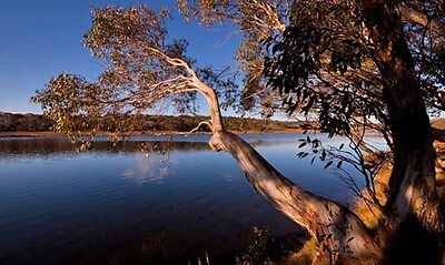 Weeping Snow Gum ( Eucalyptus lacrimans) - 50 Seeds