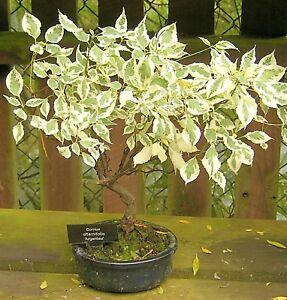 Bonsai-Samen-Zimmerpflanze-Saemereien-Zierbaum-Terrasse-Samen-i-HARTRIEGEL-i