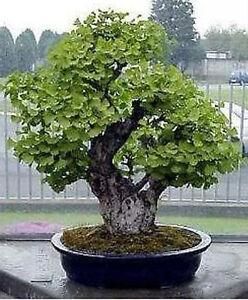 Maidenhair Tree Ginkgo Biloba 5 Fresh Seeds Bonsai Or Feature Ebay