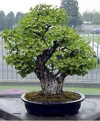 Maidenhair Tree (Ginkgo Biloba) 10 Germinated Seeds Bonsai or Feature