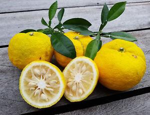 Citrus junos graines, Yuzu-Citron, 15 ° C., Citrus ichangensis X C. Reticulata  </span>