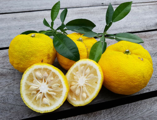 reticulata Citrus ichangensis x C Citrus junos Jungpflanzen Yuzu-Zitrone