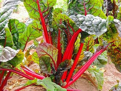 VEGETABLE  SWISS CHARD RUBY RED  300 SEEDS