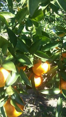 10 Tangerine Seeds Sweet and DeliciousFree ShippingUSA Seller