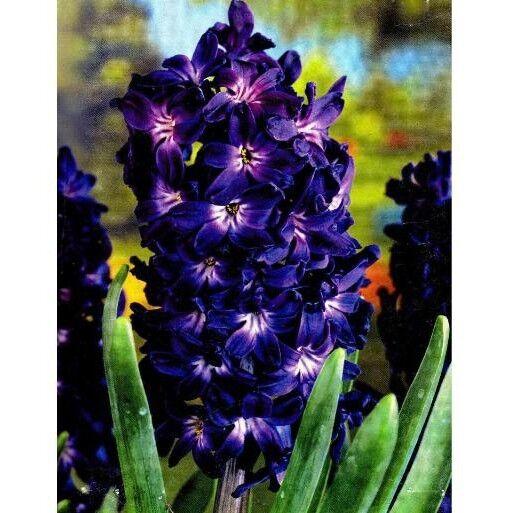 5 pz bulbo bulbi di Giacinti giacinto BLUE MAGIC  vaso e giardino blu acquaverde