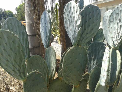 "HUGE BUNNY Ear PADs Opuntia ROBUSTA Silver Dollar Prickly Pear Cactus 24/"" Cut"