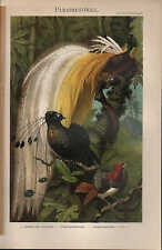 Chromo-Lithografie 1897: Paradiesvögel. Göttervogel Strahlenparadiesvogel Königs