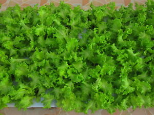 100-HYDROPONIC-SEEDS-2-700-Thai-Green-Lettuce-Seeds-Lactuca-Sataiva-Vegetable
