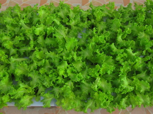 Thai Green Lettuce Seeds Hydroponic Lettuce Seeds