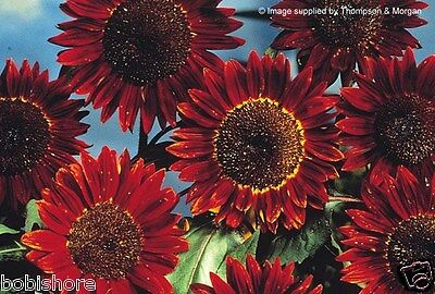 FREE POST AUSTRALIA Prado Red Sunflower Seeds Exotic Unusual Garden Plant Seed