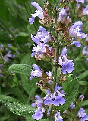 100 Samen Echter Salbei (Salvia officinalis), Gewürzpflanze, gute Bienenweide