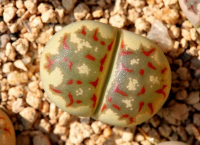 Lithops dorotheae Zorro, exotic living stone rock ice peable cacti seed 15 SEEDS