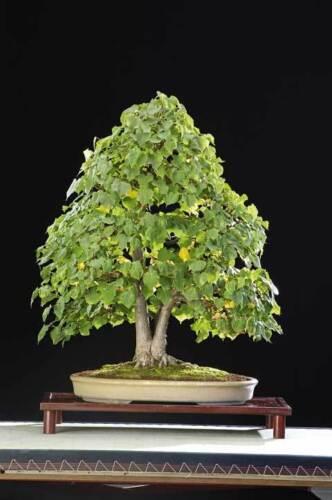5 TILIA CORDATA BONSAI SEEDS GROW YOUR OWN BONSAI TREES 5X
